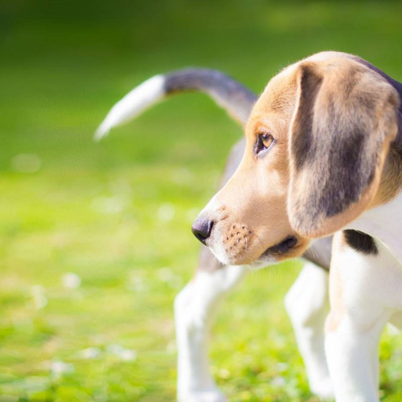 portrait of a beagle puppy dog on the field