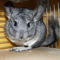 chinchillas-238049_640