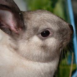 dwarf-rabbit-4999632_640